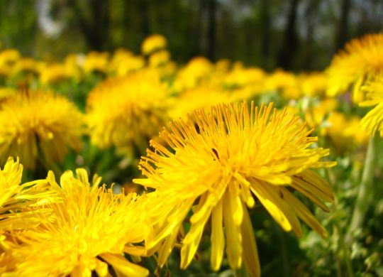 yellow-dandelions